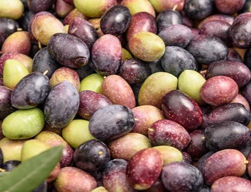 monocultivar oliva coratina